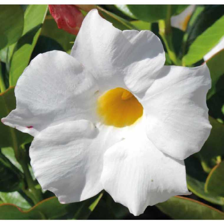 Dipladénia Sundaville Grand White. Le pot de 9 x 9 cm 534016