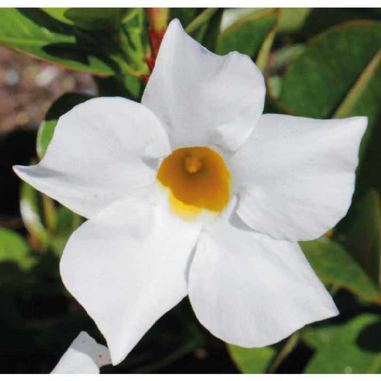 Dipladénia Bella Blanc. Le pot de 9 x 9 cm 534019
