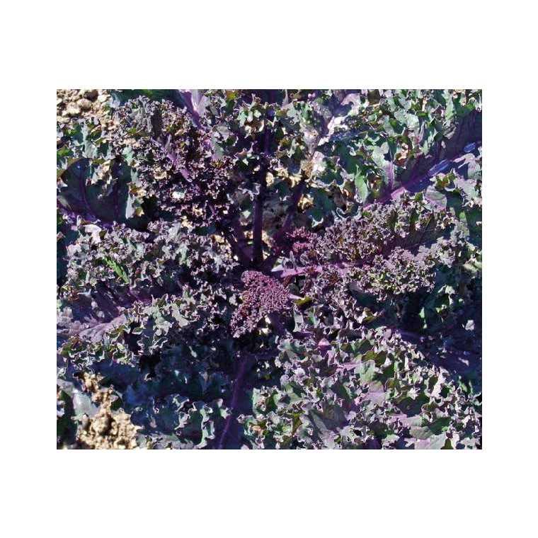 Chou Kale rouge. Le pot compostable de 10,5 cm 534340