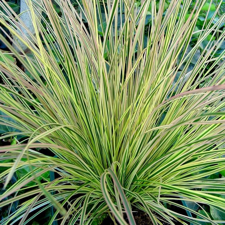 Calamagrostis Herbe Aux Diamants. Le pot de 2 litres 535600