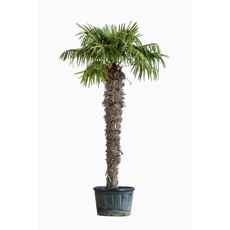 Trachycarpus Excelsa ou Palmier de Chine 130/140 cm en pot de 230 L 560887
