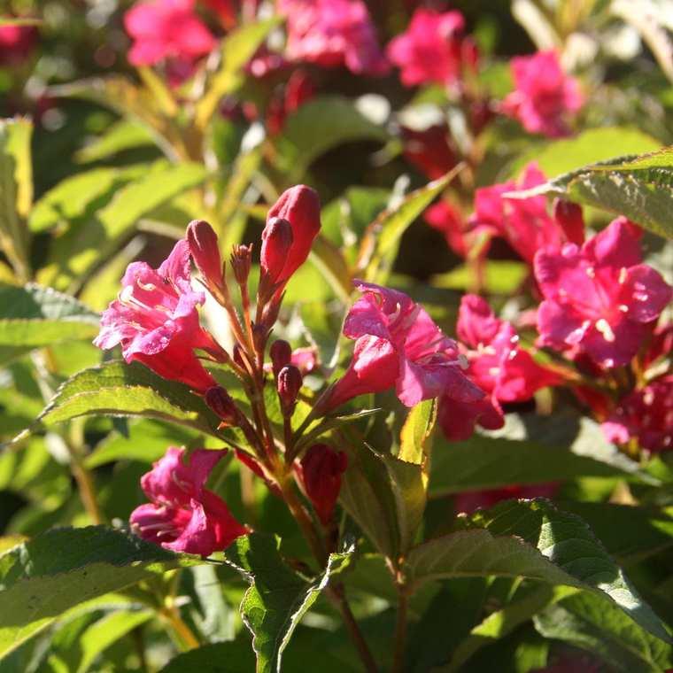Weigelia rouge – Pot de 7L 57845