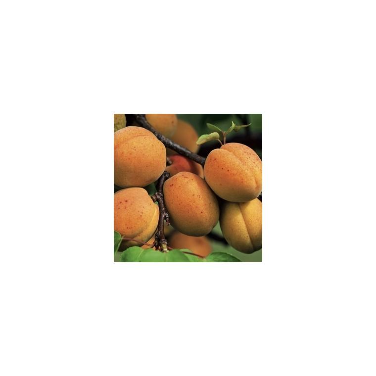 Abricotier Polonais forme 1/2 tige 58667