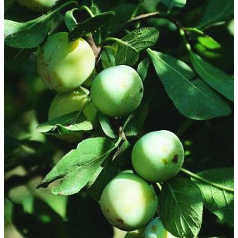 Prunier Reine-Claude d'Oullins botanic® - ½ tige 58961