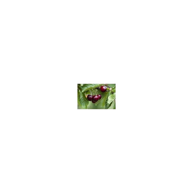 Cerisier Bigarreau Burlat forme 1/2 tige 59737
