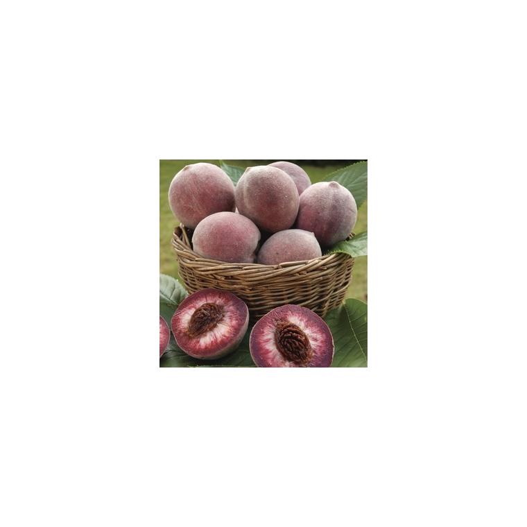 Pêcher Sanguine de Savoie forme gobelet 59748