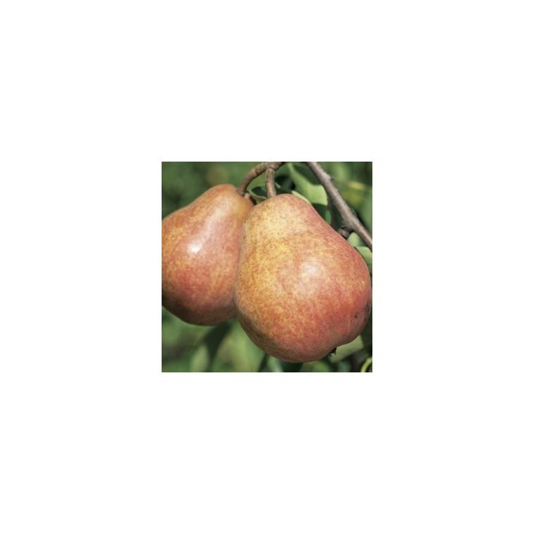 Poirier Williams Rouge ®Homored forme gobelet 59758