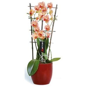 Orchidée en espalier