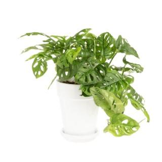 Philodendron Obliqua Pot Ø 21 cm 615408