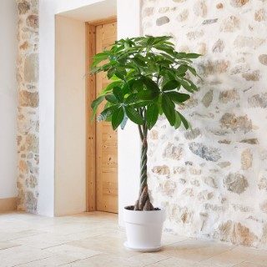 Pachira Aquatica tressé botanic® - Pot de Ø31 cm 615410
