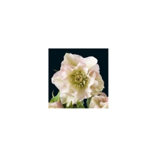 Helleborus Ori. Double Mix. Le pot de 1 litre