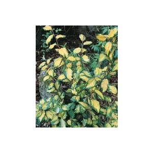 Elaeagnus X Ebbingei Limelight en pot de 35 L 125/150 cm