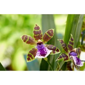 Orchidée Zygopetalum