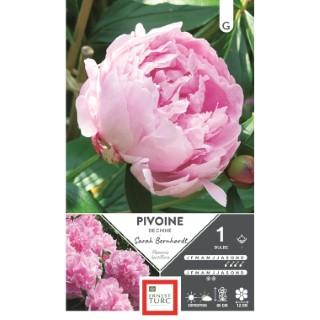 Bulbe de Pivoine herbacée Sarah Bernhardt rose 638877