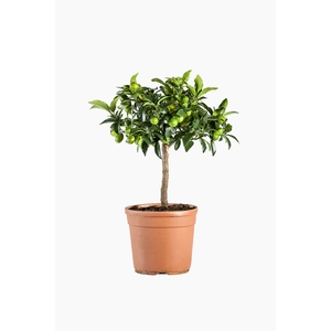 Kumquat 1/4 tige en conteneur de 5L orange 641752