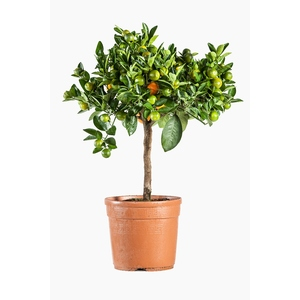 Calamondin 1/4 tige en conteneur de 5L orange 641754
