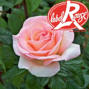 Rosier Prince Jardinier® Label Rouge en pot de 5L