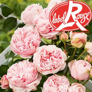 Rosier L'Alhambra® Label Rouge en pot de 5L