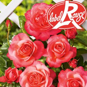Rosier Parc de La Vanoise® Label Rouge en pot de 5L