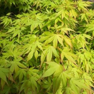 Acer Palmatum Katsura (érable du Japon) en pot de 15 L orange 649744
