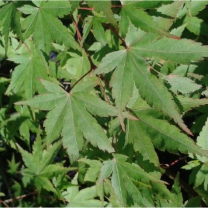 Acer Palmatum (érable du Japon palmé) 1/4 de tige en pot de 10L vert 650177