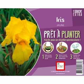 Souche d'Iris Germanica jaune extra en bourriche 657554