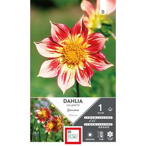 Bulbe de Dahlia à fleurs simples Ipanema rose 665432