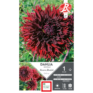 Bulbe de Dalhia cactus dentelle Kenora Mackob bordeaux 665437