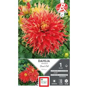 Bulbe de Dahlia cactus dentelle Show'n'tell rouge 665438