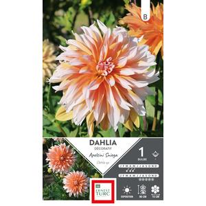 Bulbe de Dahlia décoratif Apelsini Sniega orange et blanc 665445