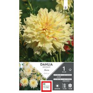 Bulbe de Dahlia décoratif Aurea jaune 665446