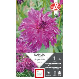 Bulbe de Dalhia décoratif Bangkok violet 665447