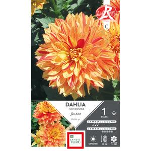 Bulbe de Dahlia décoratif nain Janeiro orange 665453