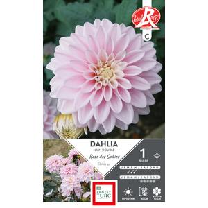 Bulbe de Dahlia nain double Rose des Sables rose 665464