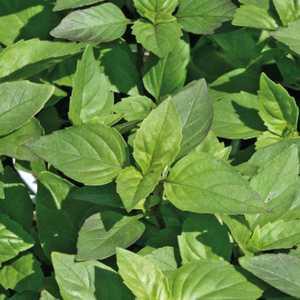 Basilic Marseillais bio vert en pot recyclé Ø 16-21 cm 670700