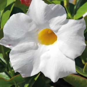 Dipladénia blanc Rio blanc. Le pot de 9x9 cm 670705