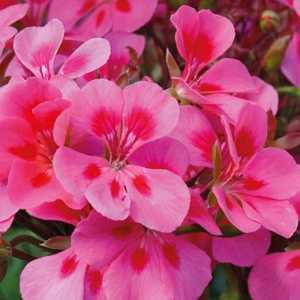 Geranium zonale Americana Mega Splash rose bicolore en pot 12x12 cm