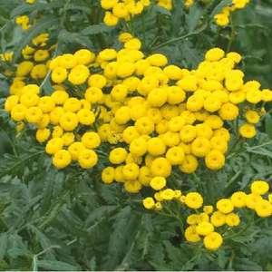 Tanaisie en pot biodégradable de 10,5 cm 670968