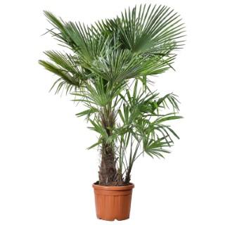 Palmier Trachycarpus multitroncs en pot de 50L 673494