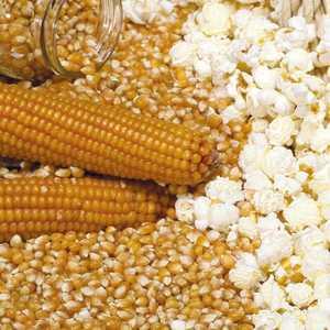 Maïs pop corn Tom Pouce en pot recyclé Ø 13-15 cm 673943