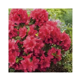Azalea japonica vuyks scarlet rouge en pot de 5 L
