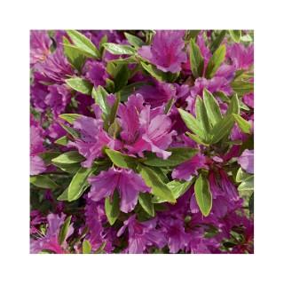 Azalea japonica purple splendour violette en pot de 5 L