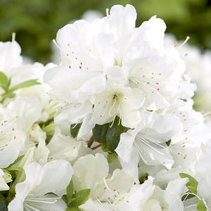 Azalea japonica dorothy haiden rose en pot de 5 L