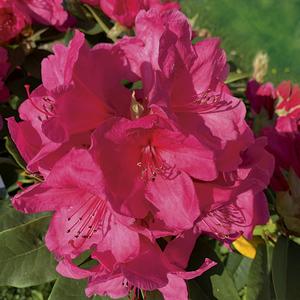 Rhododendron anna rose whitney rose en pot de 7,5 L