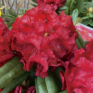 Rhododendron léo rouge en pot de 7,5 L