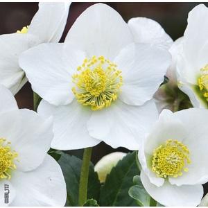 Hellébore (ou Rose de Noël) BLANCHE HGC® DIVA® - Le pot de 1,5 litres