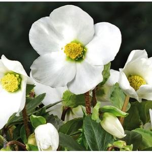 Hellébore (ou Rose de Noël) BLANCHE HGC® JERRY - Le pot de 1,5 litres