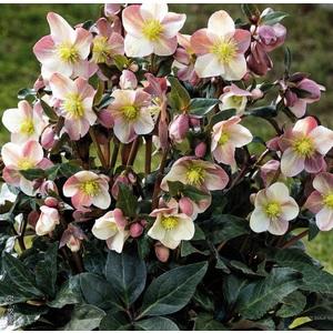 Hellébore (ou Rose de Noël) INTERSPECIFIQUE HGC®  MAESTRO® - Le pot de 1,5 litres