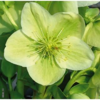 Hellébore (ou Rose de Noël) ORIENTALIS 'YELLOW LADY' - Le pot de 1,5 litres