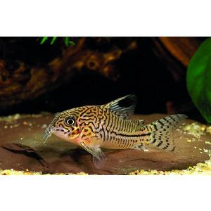 Corydoras Julii poisson nettoyeur de sable 3 cm